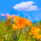Poppies poppy flowers in orange at California spring fields Stock Images