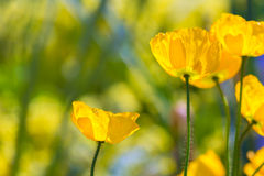 Poppies Poppy flowes in California san Francisco spring Royalty Free Stock Images