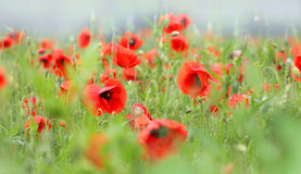 Poppies after rain Stock Images