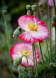 Poppies in the Rain Royalty Free Stock Image