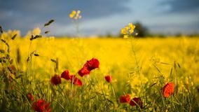 Poppies in Rape Seed Field Royalty Free Stock Image