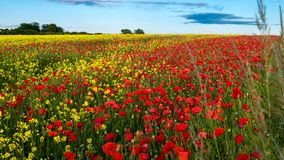 Poppies in Rape Seed Field Royalty Free Stock Photos