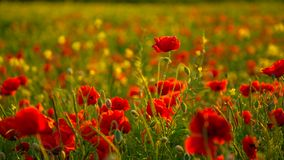 Poppies in Rape Seed Field Royalty Free Stock Photography