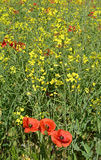Poppies in Rapeseed Field Royalty Free Stock Image