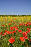 Poppies in Rapeseed Field Royalty Free Stock Photo