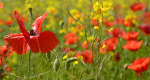 Poppies in Rapeseed Field Stock Photo