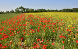 Poppies in Rapeseed Field Royalty Free Stock Photos