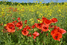 Poppies in Rapeseed Field Stock Photography