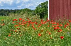 Poppies at red barn Royalty Free Stock Photos