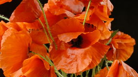 Poppies red black petals detail stock video