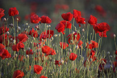 Poppies. Red Poppies close up stock photos