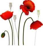 Poppies Stock Image