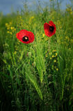 Poppies. Red poppies. These flowers symbolize summer and love. The photo was made ​​at the end of the day. Ukraine Stock Image