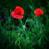 Poppies. Red poppies. These flowers symbolize summer and love. The photo was made ​​at the end of the day. Ukraine Royalty Free Stock Photos