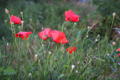 Poppies (Papaver Rhoeas) Royalty Free Stock Image