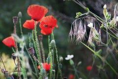 Poppies (Papaver Rhoeas) Royalty Free Stock Photos