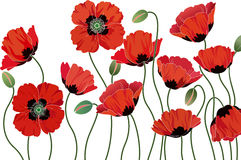 Poppies. Red poppies isolated on white background Royalty Free Stock Images
