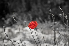 Poppies. Royalty Free Stock Image