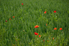 Poppies red rye wheat green. Poppies red in a field of rye wheat green Stock Photo