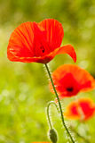 Poppies. Red poppies on a sunny afternoon Stock Photos