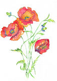 Poppies Red Watercolor Stock Photo