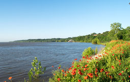 Poppies on river shoreline. Poppies on shoreline of Mississippi River at Natchez Stock Images