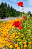 Poppies by the roadside Stock Images