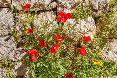 Poppies on Ruins Temple of Serapis in Jerusalem Royalty Free Stock Photography