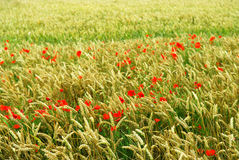 Poppies in rye. Red poppy flowers growing in green rye grain field Stock Photography