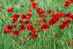 Poppies on rye field. Stock Images