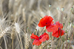 Poppies In Rye Field Royalty Free Stock Image