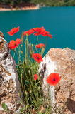Poppies at the Saint Croix lake. Lac de Saint Croix in the Provence VAR France Royalty Free Stock Photography
