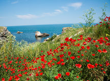 Poppies at sea coast Stock Images