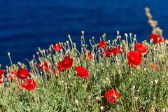 Poppies on a sea coast Stock Photo