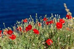 Poppies on a sea coast. Poppies growing on the rocks near the sea Stock Photo