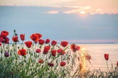 Poppies on the sea shore at sunrise Stock Image