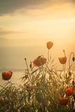 Poppies on the sea shore at sunrise. Vintage style. Royalty Free Stock Photography