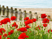 Poppies on seashore Royalty Free Stock Photography