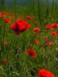 Poppies. Shallow dof. Blooms of poppies. Shallow dof Stock Photo