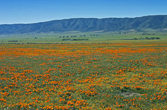 Poppies with sheep, California. Morning springtime panorama of a poppy field with a distant flock of sheep in the Antelope Valley west of Palmdale, California Royalty Free Stock Photo