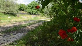 Poppies On Side of Country Road. Red poppies twist in wind on bound of an unpaved country road stock footage