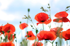 Poppies sky background Royalty Free Stock Images