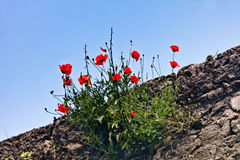 Poppies on sky background Royalty Free Stock Image