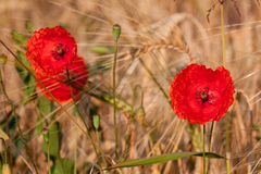 Poppies, sky and barley stock image