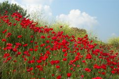 Poppies and sky diagonal. Poppies, yellow flowes and sky diagonal Stock Photos