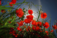 Poppies in the Sky Stock Photography