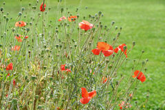 The poppies Stock Photography
