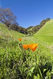 Poppies in spring. California poppies, Briones regional park, East Bay Stock Images