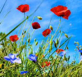 Poppies spring flowers with  blue sky background. Poppies flowers in a sunny day in great color saturation and light Royalty Free Stock Photography