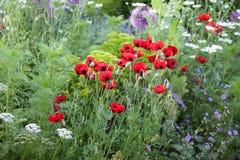 Poppies in a spring garden Royalty Free Stock Photos